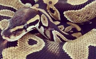 Illustration d'un python femelle.