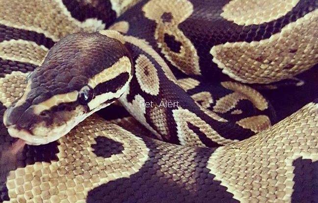 Nice: Quatre pythons (et leurs propriétaires) arrêtés pendant le Carnaval
