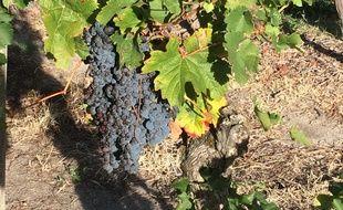 Cette année, les grappes sont de belle qualité après un été ensoleillé qui promet un beau millésime.