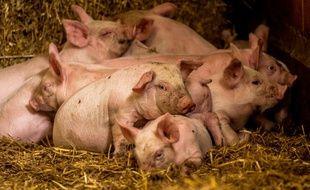 Une ferme porcine à Bourbourg (image d'illustration).