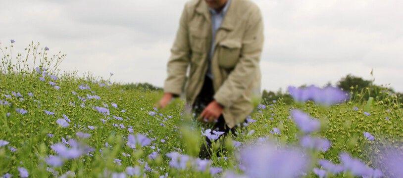 Illustration d'un homme marchant dans un champ de lin, ici au nord de Rennes.