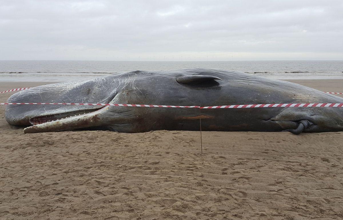 Cachalot échoué sur une plage d'Angleterre fin janvier 2016. – MCA / AFP