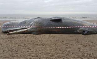 Cachalot échoué sur une plage d'Angleterre fin janvier 2016.