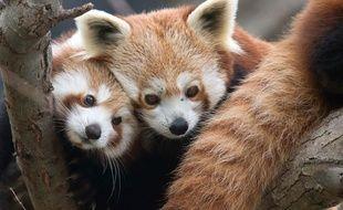 Pandas roux.