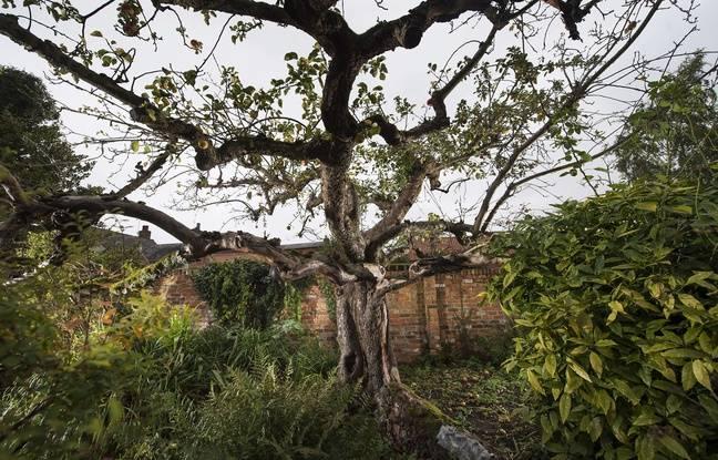 L'université de Nottingham veut tout mettre en oeuvre pour maintenir l'arbre Bramley en vie.