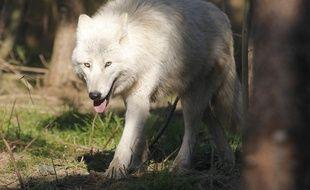 FROSSAY le 21/02/2013 Un loup dans le parc du sentier des daims