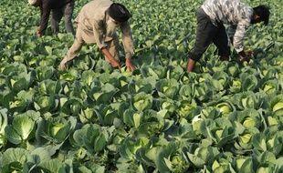 Des agriculteurs indiens dans un champs de choux dans les environs de Amritsar (nord du pays) - photo illustration.