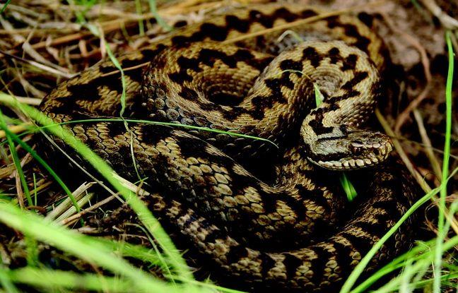 morsure de serpents comment est on arriv une situation de p nurie d anti venin. Black Bedroom Furniture Sets. Home Design Ideas