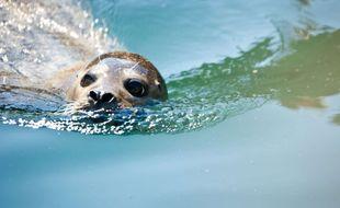 Les populations de phoque veaux-marins ont adopté les côtes normandes depuis quelques années