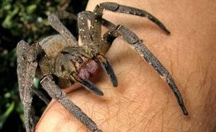 Phoneutria nigriventer, l'araignée banane.