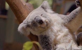 Un koala trop mignon (mais menacé)