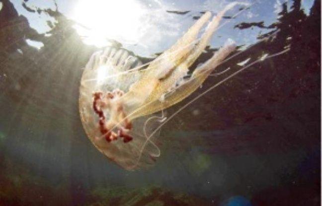 La méduse Pelagia, une des nombreuses espèces présentes en Méditerranée.