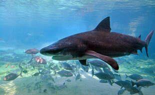 Un requin dans un parc aquatique en Australie (illustration).