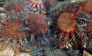 Des scientifiques australiens ont annoncé lundi avoir identifié une bactérie capable d'éradiquer les étoiles de mer dévoreuses de corail, même s'ils doivent encore prouver son innocuité pour les autres espèces marines.