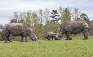 Les rhinocéros blancs sont une espèce menacée d'extinction.