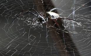Une Néphile, espèce d'araignée présente dans un des terrariums de l'exposition.