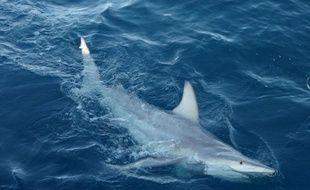 Des scientifiques ont annoncé mardi avoir découvert les premiers requins hybrides au monde dans les eaux australiennes, signe probable, selon eux, que ces prédateurs s'adaptent au changement climatique.