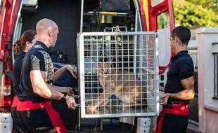 Les pompiers de Paris ont découvert un lynx dans le jardin d'un particulier à Champigny-sur-Marne (Val-de-Marne).