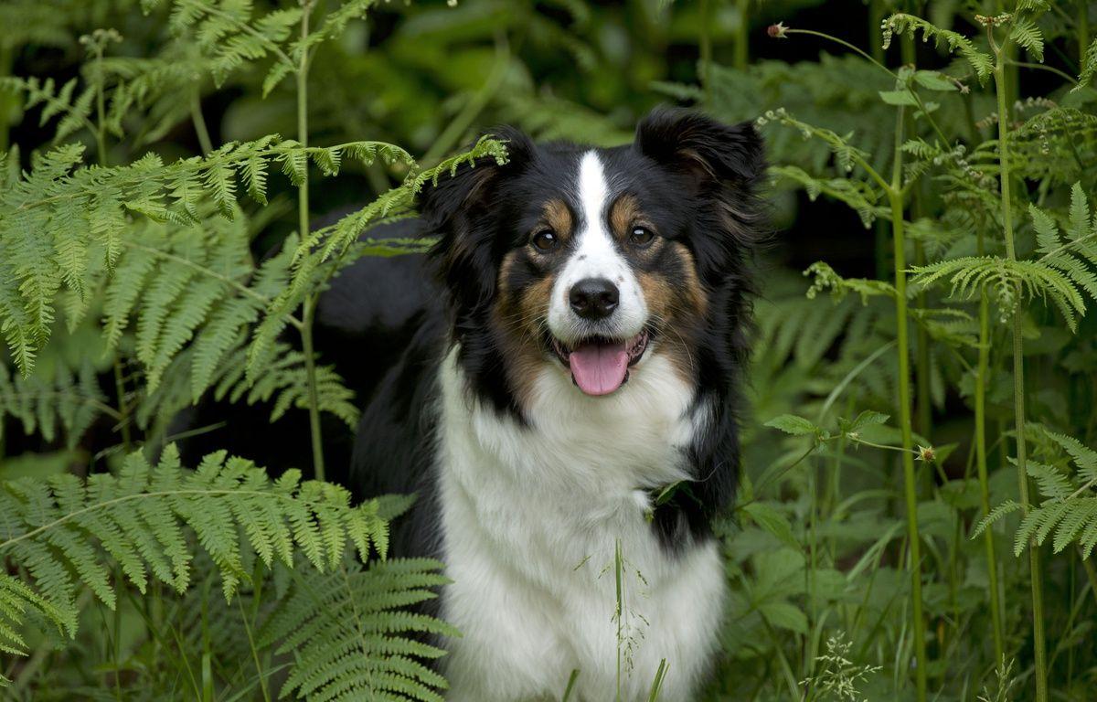 Un chien de race border collie. – ARDEA/MARY EVANS/SIPA