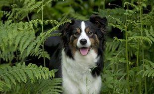 Un chien de race border collie.