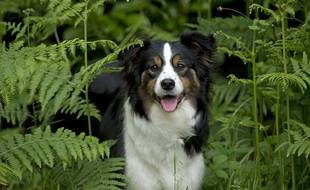 Un chien de race border collie.