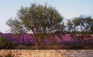 Des oliviers devant un champs de lavande. Illustration.