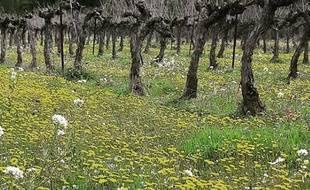 En adoptant la filière bio, les viticulteurs du Cour Saint-Vincent, au nord de Montpellier, ont permis le retour de la biodiversité.