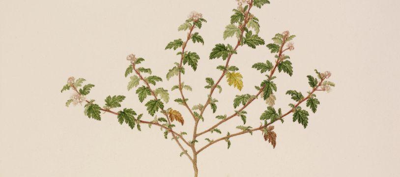 Une illustration de la dendrocnide, une plante toxique provoquant des douleurs insupportables si on la touche.