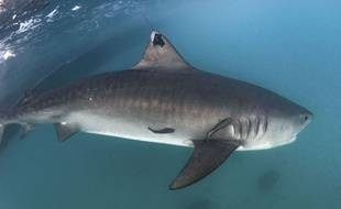 Un requin, illustration