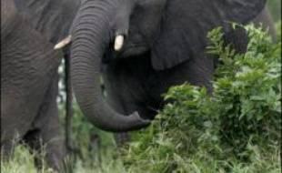 """Les éléphants se servent de leurs pieds pour """"écouter"""" les appels des autres hardes, grâce aux vibrations transmises par les pas de leurs congénères, surtout lorsqu'il s'agit d'éléphants qu'ils connaissent, selon la revue britannique New Scientist."""