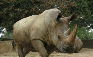 Buldo, l'un des deux rhinocéros du zoo African Safari de Plaisance-du-Touch, en Haute-Garonne.