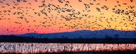 A picture taken on April 11, 2017 shows White-fronted geese take flight together before dawn at Miyakojima-Numa marsh in Bibai City, Hokkaido. The geese passed the winter in the Tohoku region and now are resting around the lake before migrating back to Siberia and other parts of the Russian Far East, where they will breed.