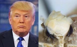 Une mite a été baptisée du nom de Donald Trump