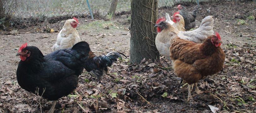 Le poulailler collectif des jardins partagés de Lanta, en Haute-Garonne, a dix poules.