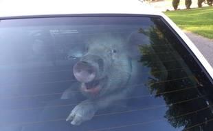 Daisy le cochon qui rit rattrapé par la police.