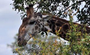 Une girafe dans un parc national en Afrique du Sud (illustration).