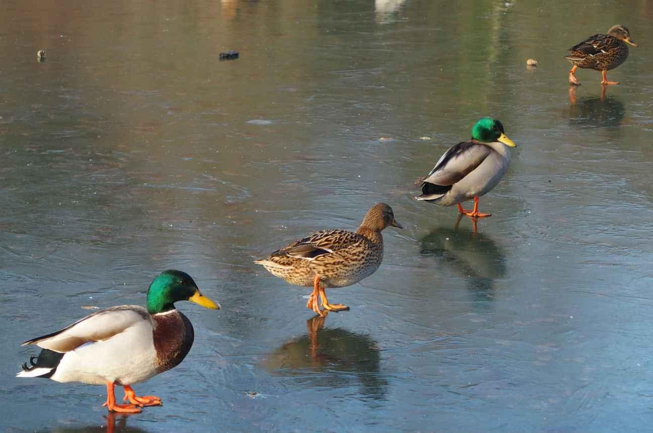 ile de france oiseaux abattus dans le val d 39 oise apr s un cas de grippe aviaire. Black Bedroom Furniture Sets. Home Design Ideas
