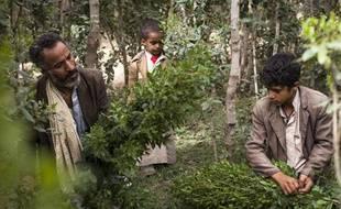 Illustration de la production de khat, au Yémen, près de la capitale Sanaa. Les feuilles de cet arbuste sont considérées comme de la drogue en France.
