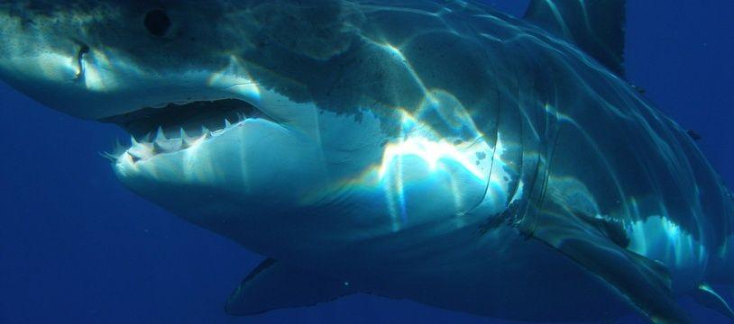 Un requin en mer, illustration