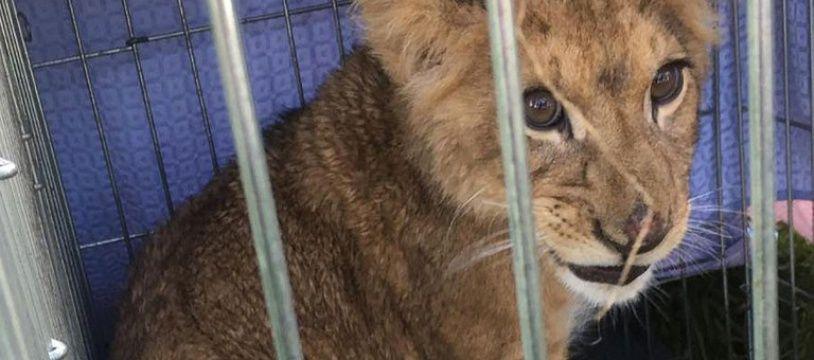 Un joggeur est tombé sur un lionceau en cage dans un champ aux Pays-Bas