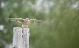 Un faucon crecerelle