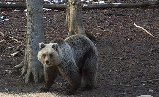 La population d'ours des Pyrénées a été sauvée grâce à l'introduction depuis 1996 de plantigrades originaires de Slovénie. Illustration.