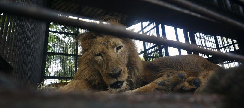 Un lion retiré d'un cirque au Guatemala (illustration).