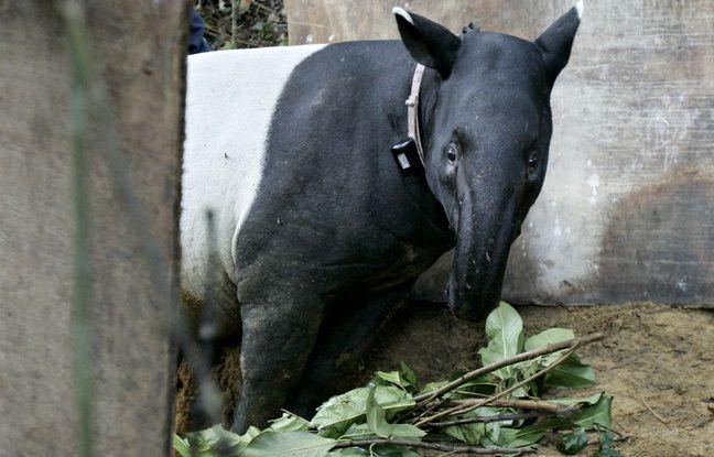 Vingt-cinq nouvelles espèces animales, comme le tapir de Malaisie, seront accueillies au sein de la forêt tropicale en projet au zoo de la Tête d'Or à Lyon.