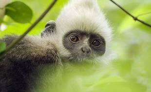 C'est la première fois que des images de singes à tête blanche sont prises.