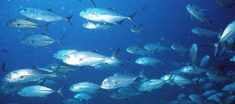 Banc de poissons dans les fonds marins au large de Djibouti, dans l'Océan Indien.