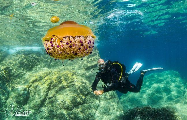 Guillaume Voiturier en compagnie d'une méduse «oeuf au plat».