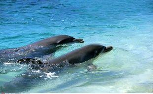 Deux dauphins nagent de concert aux Honduras.
