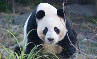 Yang Guang, le mâle panda du zoo d'Edimbourg, le 3 décembre 2012.
