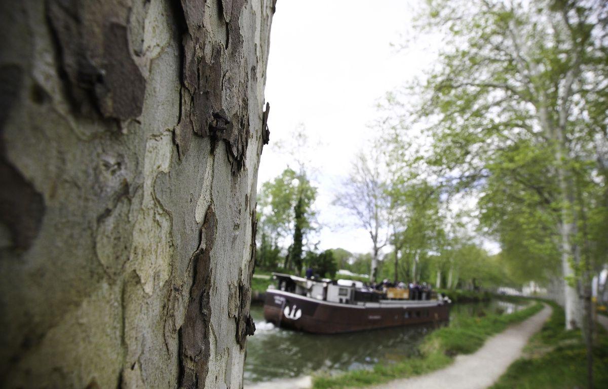 Platanes  sur les berges du Canal du Midi, près de Ramonville. – FRED SCHEIBER